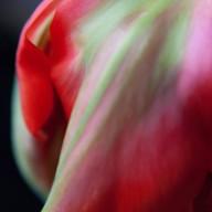 © www.kleureik.nl Tulp rood