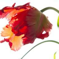 © www.kleureik.nl Parkiettulp rood