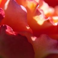 © www.kleureik.nl roos