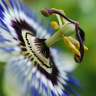 © www.kleureik.nl passiebloem passieflora