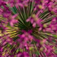 © www.kleureik.nl Allium roze
