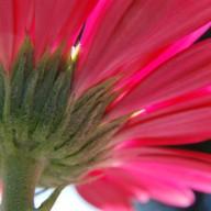 © www.kleureik.nl Gerbera roze