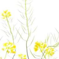 © www.kleureik.nl koolzaad geel