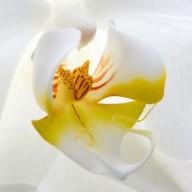 © www.kleureik.nl Orchidee wit