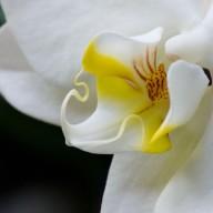 www.kleureik.nlOrchidee wit