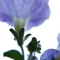 © www.kleureik.nl Petunia Blauwviolet