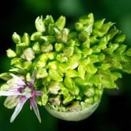 © www.kleureik.nl allium groen