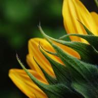 © www.kleureik.nl zonnebloem geel