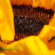 © www.kleureik.nl zonnebloem g